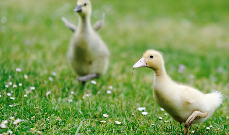 Ducklings running stock photo