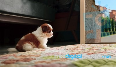 Adrable Baby Shih Tzu Puppy Dog Sitting In Front Of Home Door An\u2026 Stock Photo & Adrable Baby Shih Tzu Puppy Dog Sitting In Front Of Home Door An ...