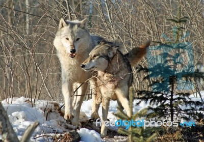 Alpha Male & Female Wolves Stock Photo - Royalty Free Image