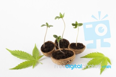 how to grow a baby cannibis plant