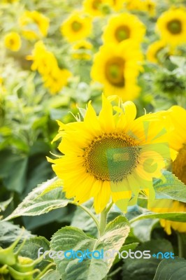 Beautiful Sunflower Plant In Public Garden Stock Photo