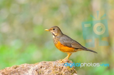 Black-breasted Thrush Bird Stock Photo - Royalty Free ...