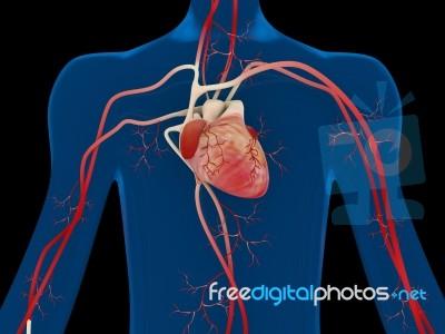 Human Heart Anatomy Stock Image - Royalty Free Image ID 100189432