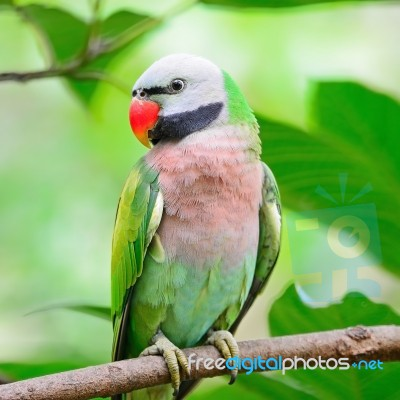Male Red-breasted Parakeet Stock Photo - Royalty Free Image