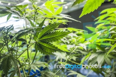 marijuana for medical purposes is it Updated medical and recreational-purpose marijuana laws by state.