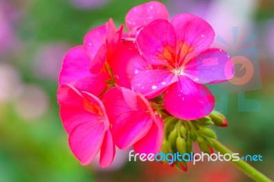 Red Geranium Flower Close Up Stock Photo - Royalty Free ...
