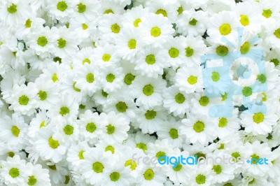 White chrysanthemum flower stock photo royalty free image id 100127913 white chrysanthemum flower stock photo mightylinksfo