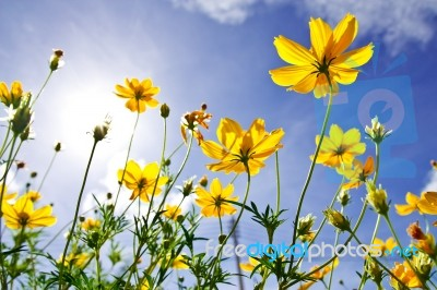 Yellow Cosmos Flower And Blue Sky Stock Photo Royalty Free Image